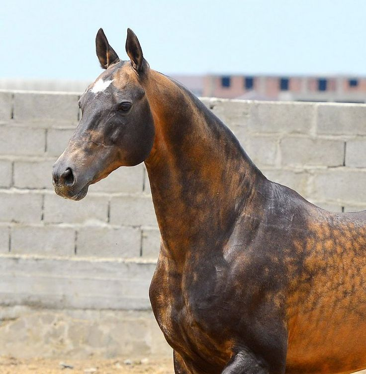 Beautiful Akhal Teke stallion Shahid. One of the prettier ones I've seen! Nice head and neck on this boy