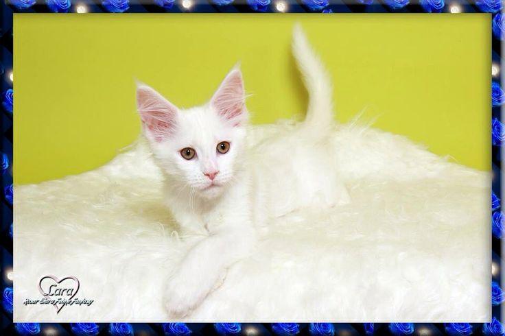 #MaineCoon #White #Cats Rosar Elara Feline Fantasy.