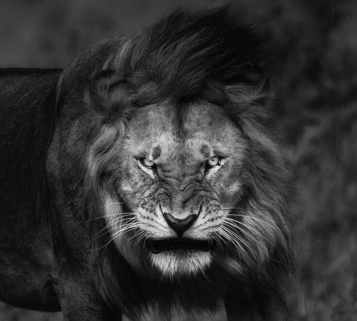 Pin By Diana M On Leo And Other Big Cats Lion Wallpaper Lion Photography Lion Face