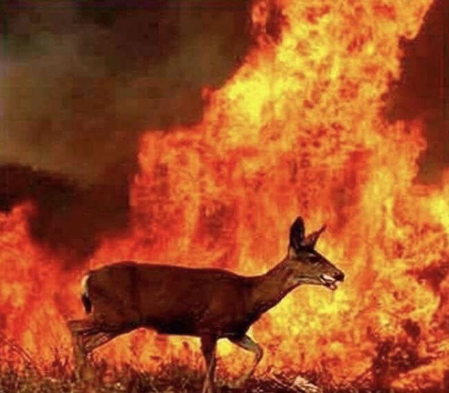 I Hope This Deer Made It Out Of The Fire Wild Fire Animals