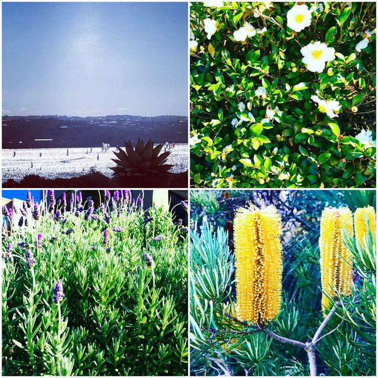 #Collage of a #Sydney #autumn #Sunday: #sunshine, #BlueSky, #harbour, #sailing, #flowers, #lavender, #BottleBrush ... #SydneyHarbour #BlueSkies #nature #flower #MotherNature #SydneyLife #GoodLife #HarbourLife #ILoveSydney