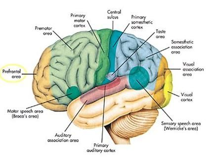 Other areas are: Limbic Brain,