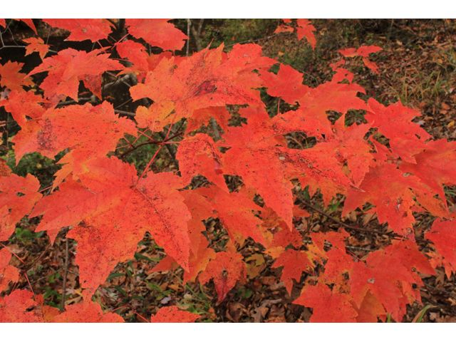 Acer rubrum (Red maple) #44554