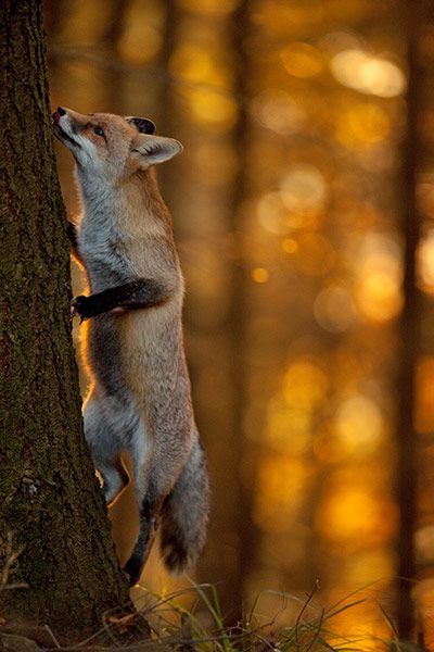 Sophie tries to climb a tree ~ Klaus Echle, 2011 Fritz Pölking Award for his photographic story 'Sophie's World - An Eventful Affair with a Vixen'   . . . .   ღTrish W ~ http://www.pinterest.com/trishw/  . . . .  #fox #red_fox #Vulpes_vulpes
