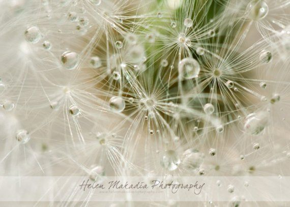 dandelion photograph, water bubbles, nature, still life, macro, white and green, nursery wall art, home decor