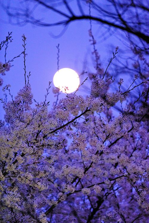 beautiful!Cherries Blossoms, Blue Sky, Nature Photography, Full Moon, Blue Moon, Moon Moon, Night Sky, Purple Sky, The Moon