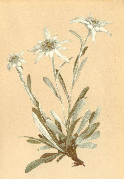 alpenflora-alpine-flowers-leontopodium-alpinum-cass-edelweiss-old-print-1897-168258-p.jpg 416×600 pixels