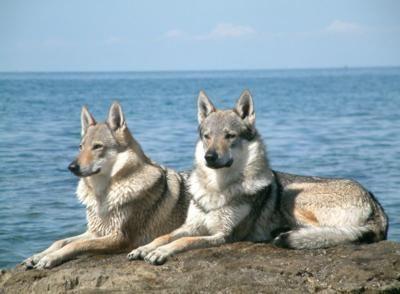 he would like one, I'm sure.... (czech wolfdog)