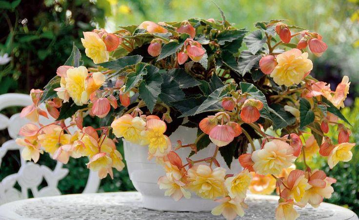 Begonien: Opulente Dauerblüher