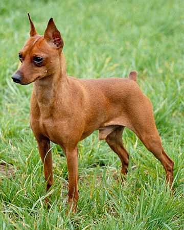 Red Miniature Pinscher Google Search Miniature