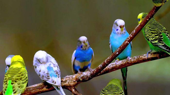 Conoce los sonidos de los periquitos y su significado | Mascotas