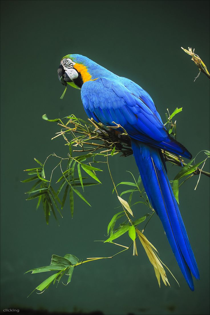 All sizes | Blue Parrot [ EXPLORED ] | Flickr - Photo Sharing!