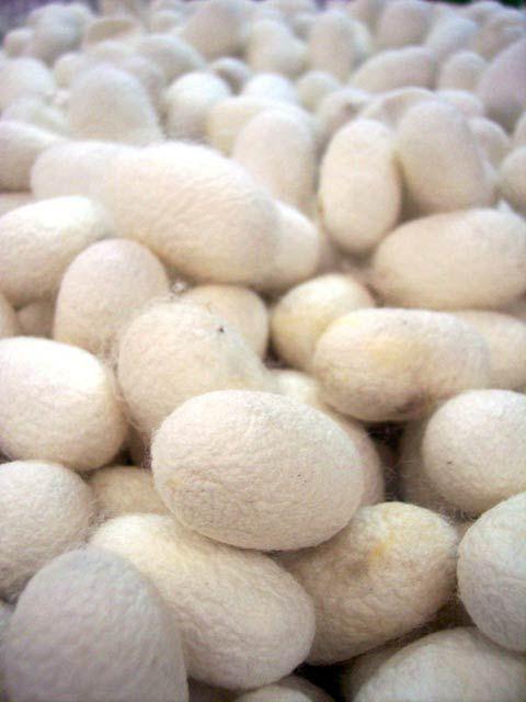 Bombyx du mûrier, ver à soie - Insectes - Frawsy