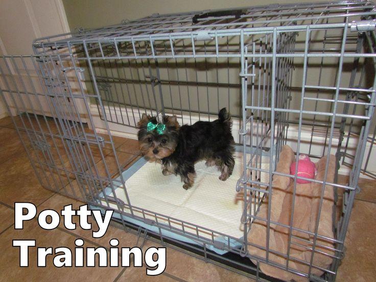 Yorkie Puppies How To Potty Train A Yorkie Puppy Yorkie