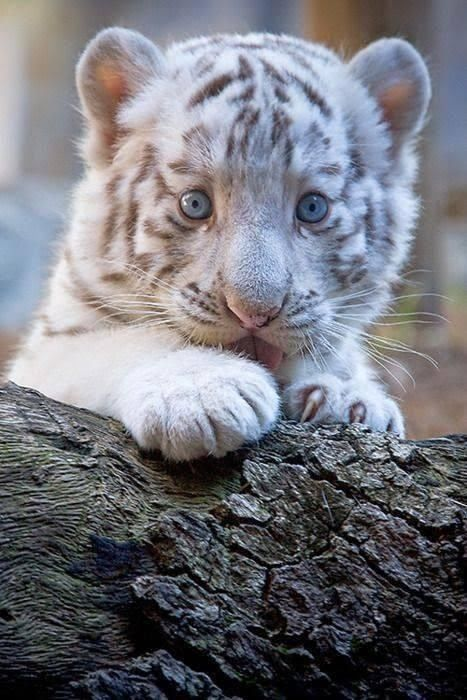 White tiger cub...look at those blue eyes!