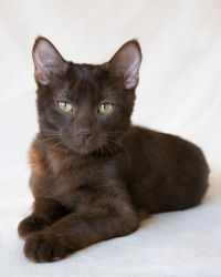 Roy is an adoptable Havana Cat in Dearborn, MI. We rescued tiny baby Roy, and as you can see by his photos, Roy is growing up to be a stunningly handsome Havana Brown cat. Roy loves to be held, and he...