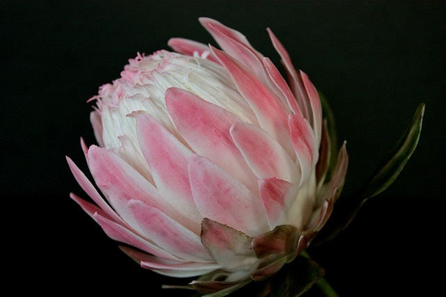 Sugarcraft protea