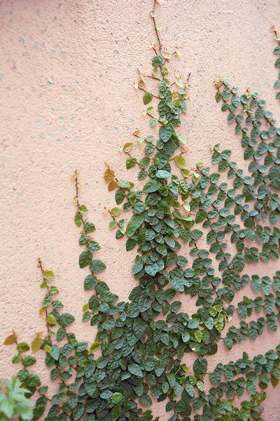 Plant rankplante soos Ficus pumila en Hedera helix wat aan die mure kleef, want hulle neem min spasie op.