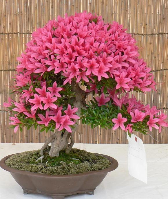 Azalea Bonsai... Lok at This Stunning Color.. Full of Life!!