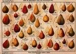 Tafel der Birnensorten
