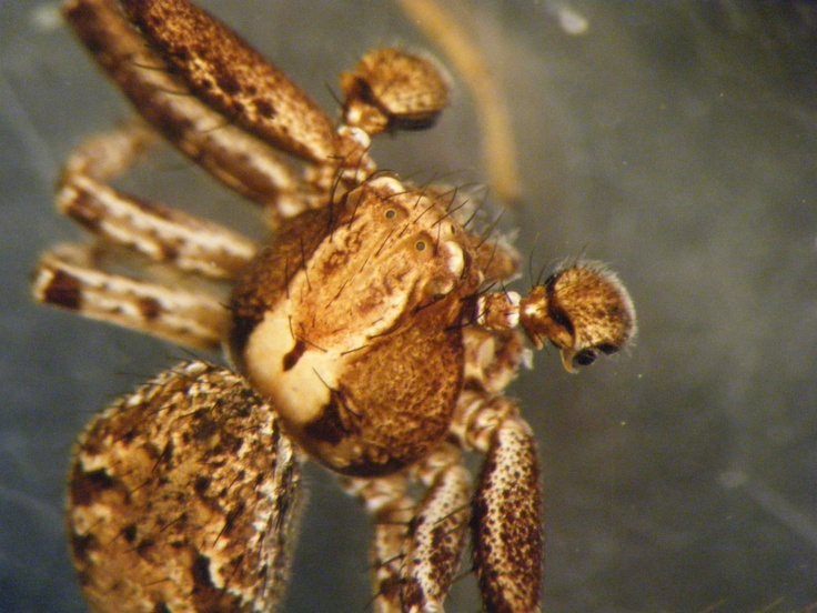 Close Up of the Male Crab Spider