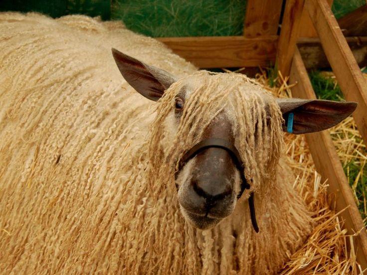 Wensleydale Sheep. I have some beautiful dark brown