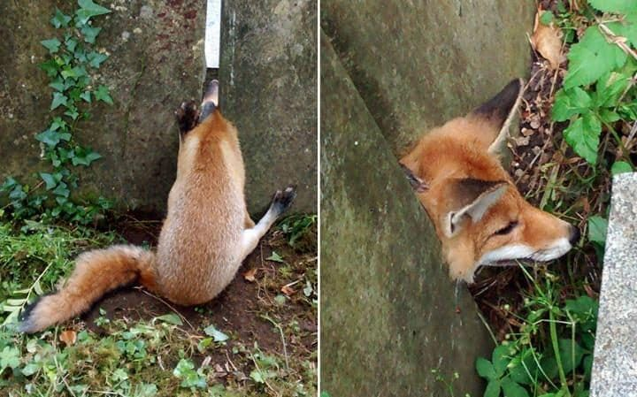 A fox was rescued by RSPCA after getting its head wedged in between two headstones in the cemetery of St Mary Magdalene Church in Leamington Spa, Warwickshire