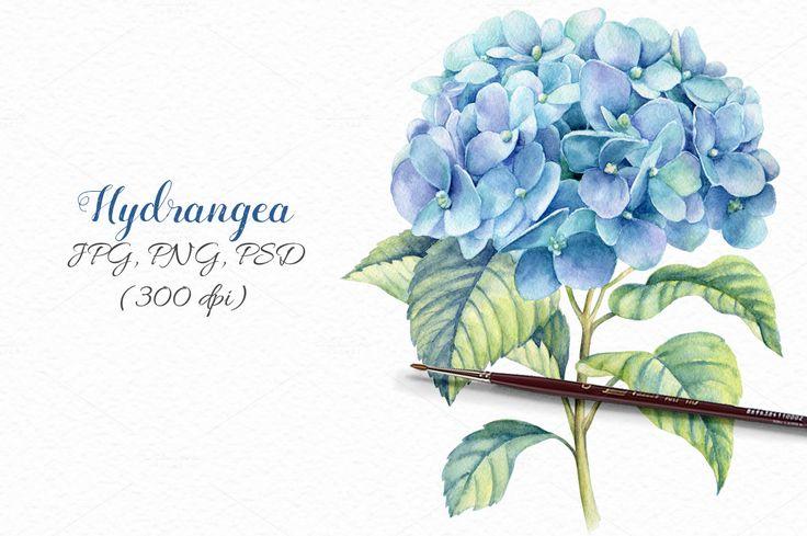 Watercolor blue hydrangea by colibri on @creativemarket