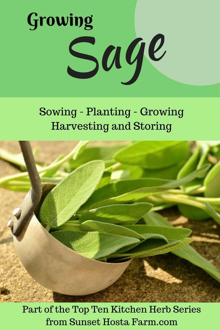 Growing Sage Herbs Types Of Herbs Low Maintenance Garden Design