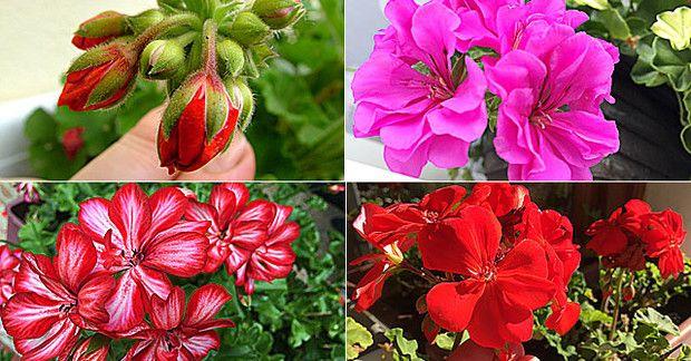 Pillanatokon belül érkezik a langyos tavasz. Most kell véget vetni muskátlijaink téli pihenőjének, ahhoz, hogy nyáron dús virágzatúak legyenek.
