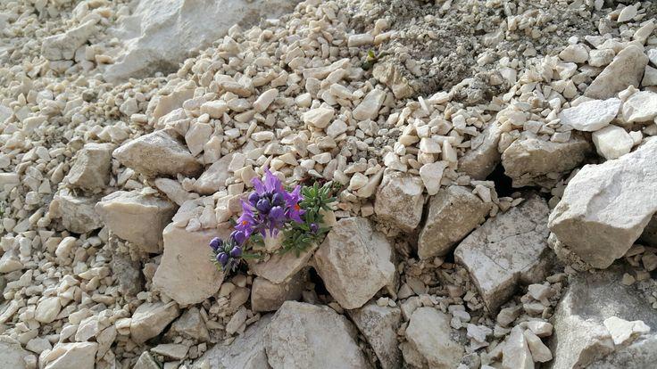 Wild flowers in Julijan Alps