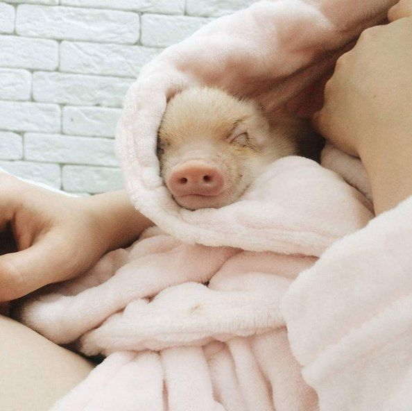 Piggy in a blanket