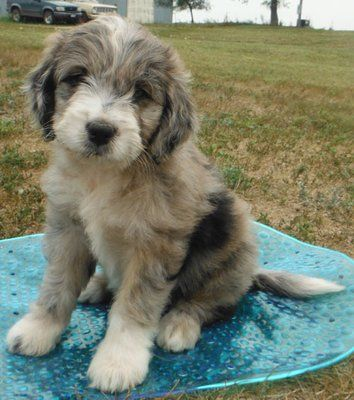 SAINT BERDOODLE PUPPY- first time I have ever heard of that but it is so cute!!