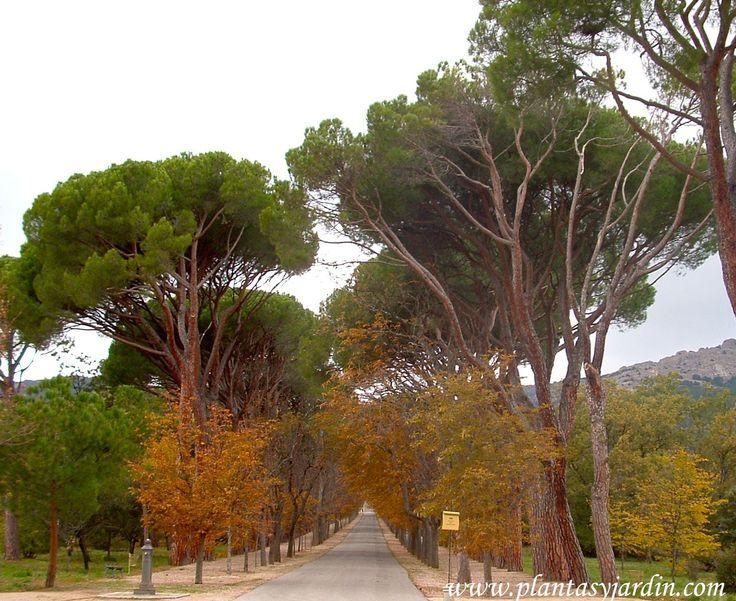 Pinus pinea en el jard n del pr ncipe jardines del real for El jardin del principe
