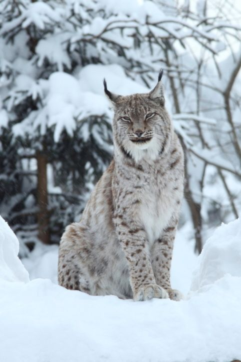 8. Eurasian Lynx (Lynx lynx) How big are we: 36kg, 79 pounds or 4.9 bowling balls Where we live: From Western Europe to Russia to Tibet and Central Asia http://animaldiversity.ummz.umich.edu/site/accounts/information/Lynx_lynx.html