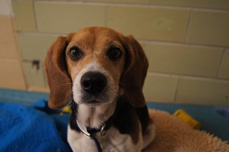 Hi my name is Susie. I am a 7 year old beagle who was brought to the shelter after I was lost for 2 years. My owners never came to claim me after the people at the shelter called.    ADOPTED!!!