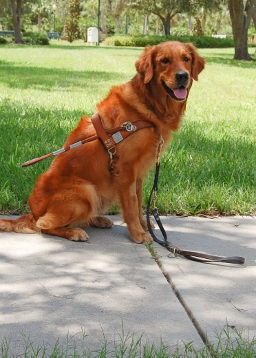This is another Boots pups. Congratulations Claude Southeaster Graduate Guide dog - www.TopbrassGoldens.com