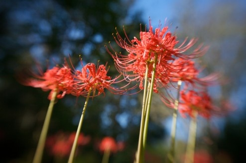 Native Louisiana red spider lily