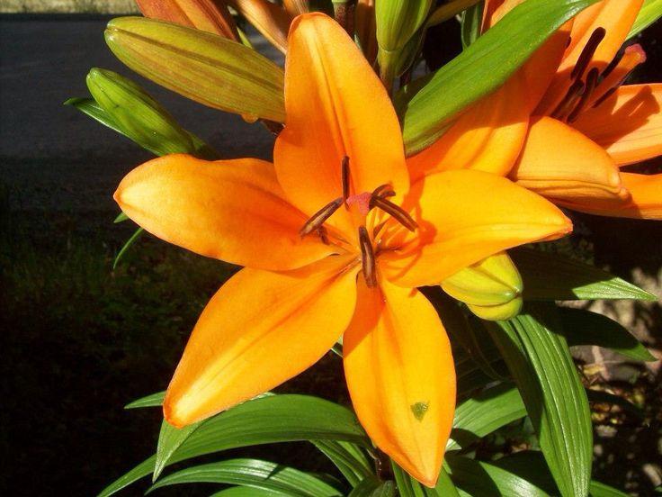 Orange Lilies...