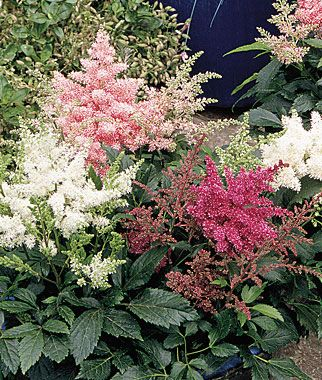 Astilbe, Astary Mix  Nonstop blooms on compact plants.   Customer Favorite!  A naturally compact Astilbe that remains compact throughout the season while blooming almost nonstop.  Product Details  lifecycle: Perennial  Zone: 4-8  Sun: Part Sun  Height: 12  inchesSpread: 12  inchesUses: Borders, Cut Flowers  Bloom Season: Spring, Summer