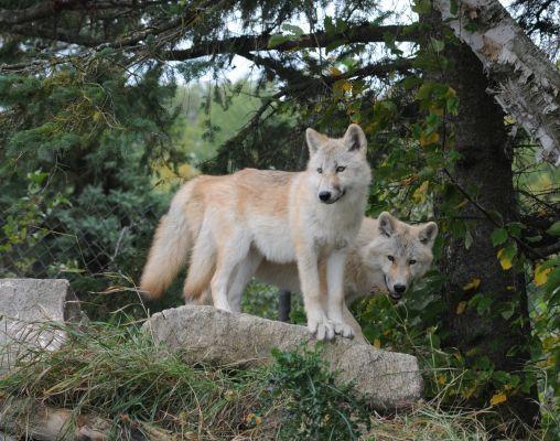 Découverte de la nature environnante mais aussi activité du soin des animaux tels que les loups, couguars, bisons ou cerfs