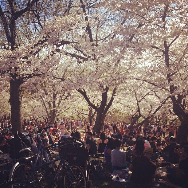 cherry blossoms in High Park #Toronto - instagram by Owen McCabe