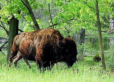 Bison Basics website - info on eating grass fed bison.