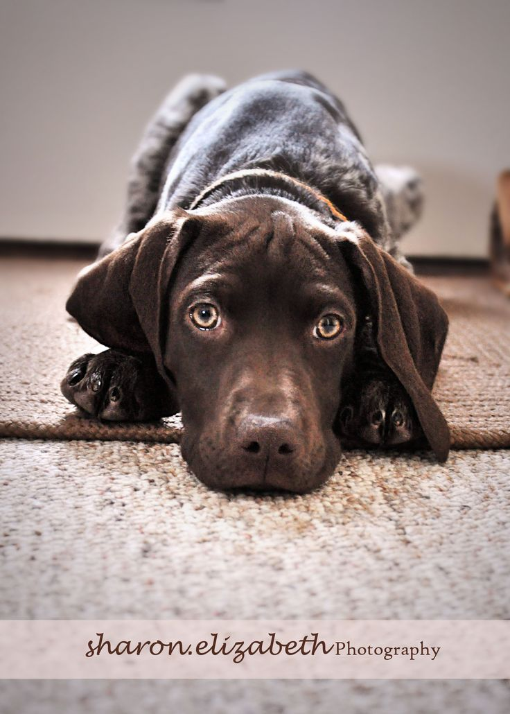 My baby girl...German Shorthaired Pointer