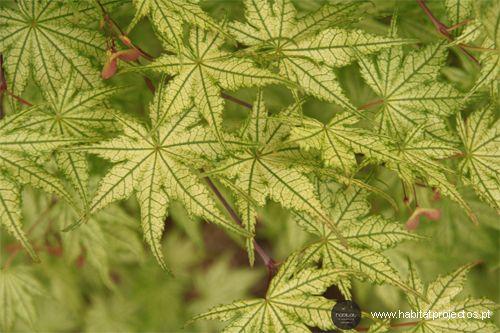 Acer palmatum 'Reticulatum' I Parque Botânico Vale Domingos