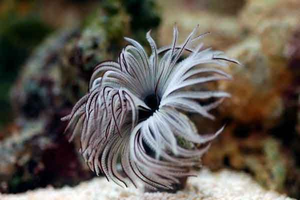 Feather Duster Worm Care Placement Feeding Quick Facts Worms For Sale Feather Duster Saltwater Aquarium