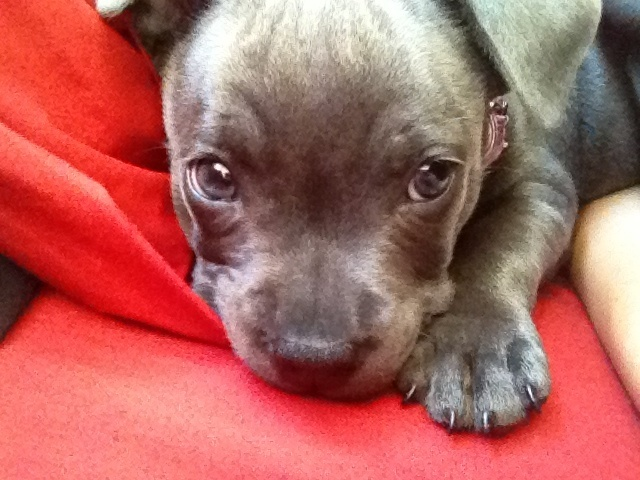 Ally the baby blue staffy Puppies Pinterest The