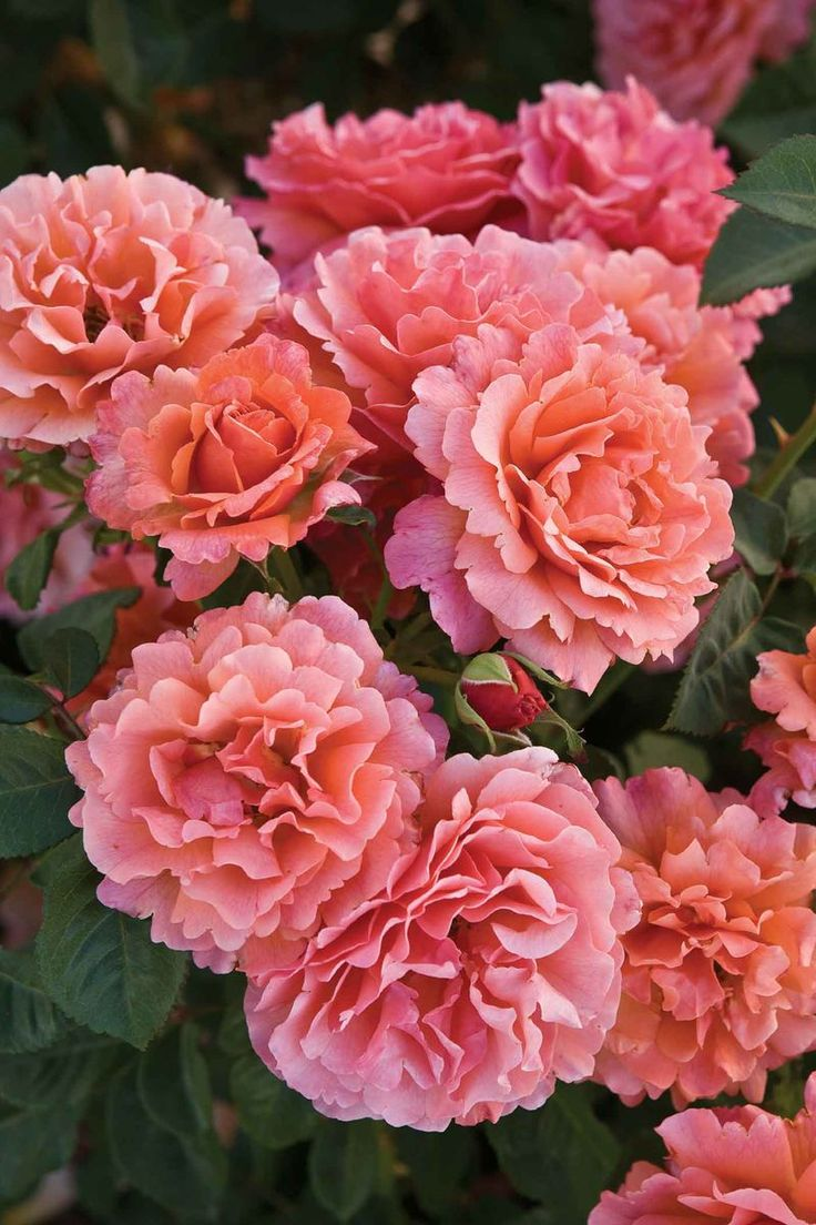 'Easy Does It' was the AARS 2010 Rose of the Year.  It grows 3 to 4 feet tall in a round and bushy form. It produces double, ruffled 4-inch blooms, each with a petal count of 25 to 30. The aroma is moderate and fruity. It blooms repeatedly.
