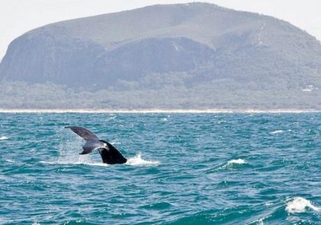 whale watching Mooloolaba