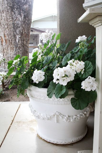 Love these white geraniums and white pot... need some for my front porch! #containergardeningideasporch